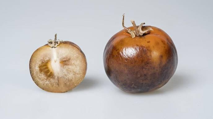 Tomatoes Engineered to Produce Vital Parkinson's Disease Medicine