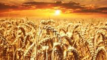 Hope for Allergy Sufferers: Scientists Decipher the Wheat Genome
