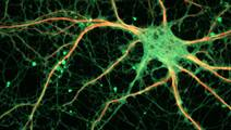 Research sheds light on the role of proteins and how synapses work
