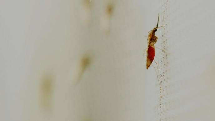 Malaria Risk Is Highest in Early Evening, Study Finds