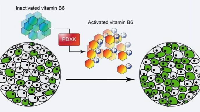 Vitamin B6, Leukemia's Deadly Addiction
