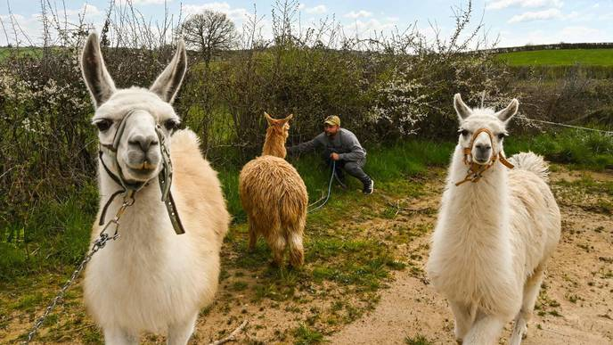 Antibodies from Llamas Could Lead to COVID-19 Treatment
