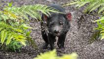 How the Tasmanian Devil Inspired Researchers to Create 'Safe Cell' Therapies