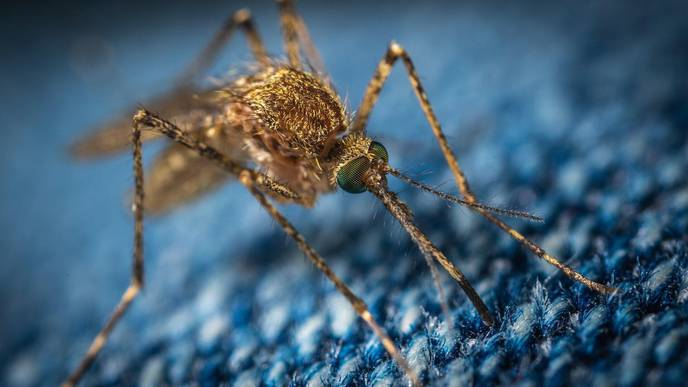 Genetically Modified Mosquitoes Key to Stopping Spread of Zika