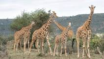Genes and Giraffes: What Do Those Spots Tell Us?