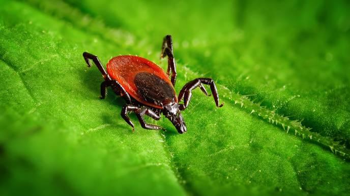 Could Plant-Based Herbal Medicines Beat Antibiotics in Treating Lyme Disease?