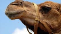 Camel Antibodies Provide Surprising Hope for Seasonal Allergy Sufferers
