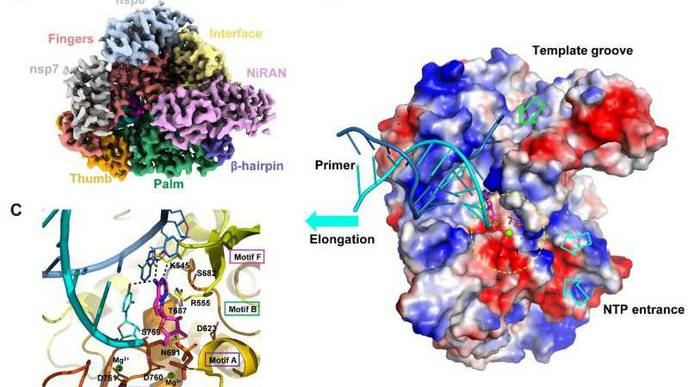 Scientists Uncover Structural Basis for SARS-CoV-2 Inhibition by Remdesivir