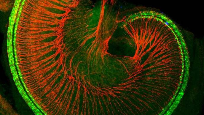 Researchers Find Proteins That May Restore Damaged Cells in the Ear