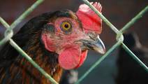 Bird Flu in Uganda Exposes Gaps in Africa's Plans to Manage Pandemics