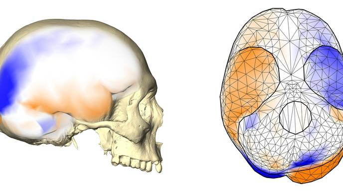 Challenging the Long-Held Notion That Human Pattern of Brain Asymmetry Is Unique