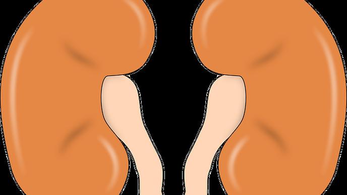 'Punarnava Therapy' Helps Reduce Pathological Damage of Kidneys