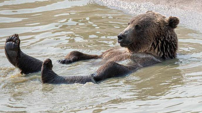 Can Knowledge About Brown Bears Contribute to Development of a Vaccine Against Atherosclerosis in Humans?