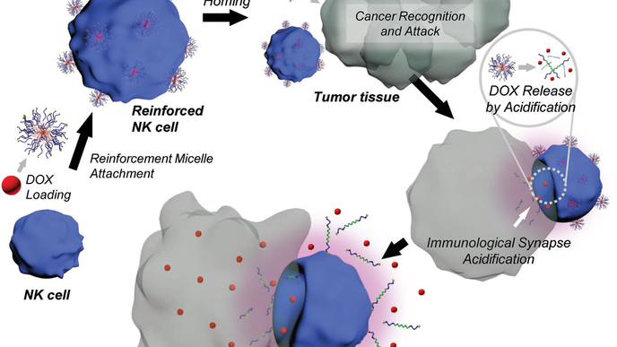 Assassin Cells Directly Destroy Cancer Cells