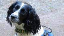 Meet the world's only superbug-sniffing dog