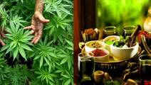 A New High for Ayurveda Medicine: Research into Cannabis for Pain Management