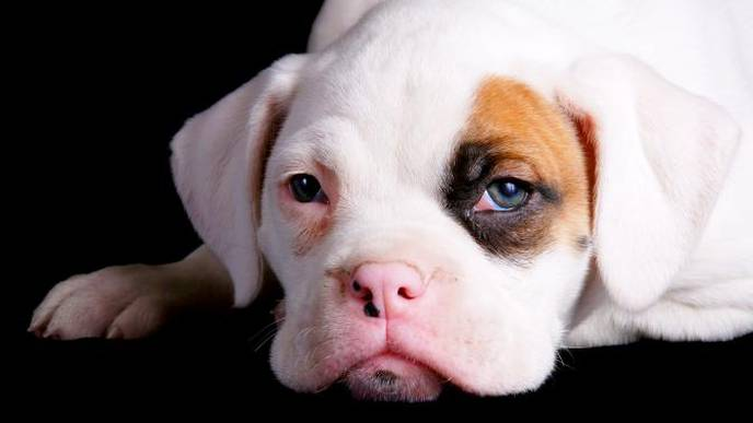 Dogs' Brains 'Not Hardwired' to Respond to Human Faces