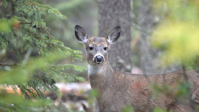 Humans Can Get Tuberculosis from Deer, the CDC Says