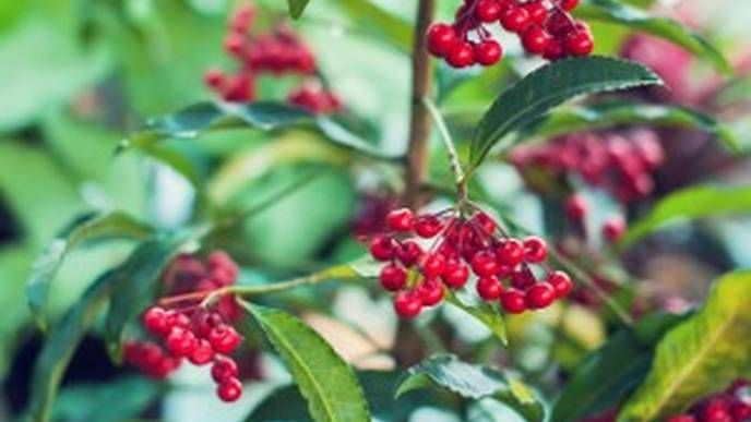 'Christmas Berry' Plant Compound Could Fight Uveal Melanoma