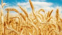 Can Gluten-Free Wheat Be Produced for People with Celiac Disease?