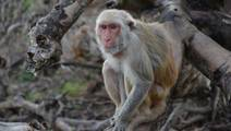What Social Stress in Monkeys Can Tell Us About Human Health