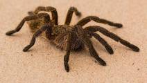 Spider Venom Strikes A Blow Against Childhood Epilepsy